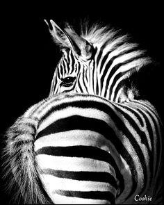 http://pinterest.com/daniellapostma/ Zebra