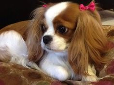 Sweet Just way too cute! She is adorable! Blenheim Cavalier King Charles Spaniel Sweet Just way too cute! She is adorable! Blenheim Cavalier King Charles Span… Source by kirsikkacherry Beautiful Dogs, Animals Beautiful, Cute Animals, Gorgeous Girl, Cute Puppies, Cute Dogs, Cavalier King Charles Dog, Cavalier King Spaniel, Spaniel Puppies