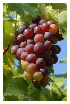 Grow Your Own Grapes! | Demesne Great tips on cultivating grapes.