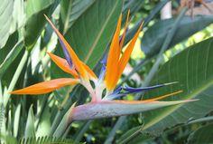 Bird of paradise - Hawaii. #flowers #Hawaii