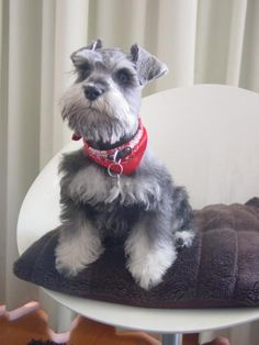 A darling little salt and pepper mini schnauzer with such a sweet face✨✨