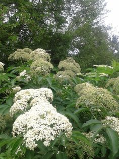 Elderberry Flowers...Elder be the Lady's tree. Burn it not if blessed ye be. A wild elderberry shrub blesses my garden and my foolish and unfortunate landlord chopped and hacked it to pieces one autumn...I wouldn't want to be him. He should have asked me...I might have warned him.