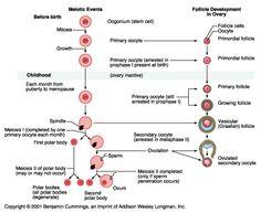 Gametogenesis spermatogenesis oogenesis obstetrics tabel perbedaan spermatogenesis dan oogenesis httpngikik ccuart Choice Image