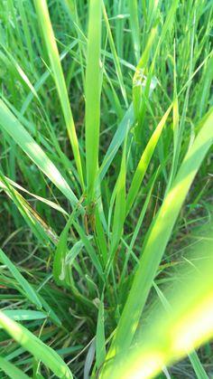 Kobylka zelená Ensifera Zahrada