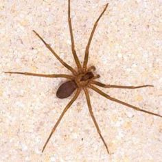 Natural Oils To Kill Spiders    Only one drop of any of the following oils in a quart of water will kill spiders. You can use Citronella Oil , Lavender Oil , Cinnamon Oil , Peppermint Oil , or Citrus Oil. Mix it one drop to a quart of water for a great spider killing and prevention solution.