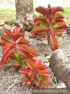 Kalanchoe sexangularis | Kumbula Indigenous Nursery turns red in winter