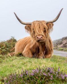 5 Day Isle of Skye and Scottish Highlands Itinerary Highland coo Isle of Skye and Scottish Highlands itinerary trip Scotland Cute Baby Cow, Baby Cows, Cute Cows, Cute Baby Animals, Animals And Pets, Highland Cow Art, Scottish Highland Cow, Highland Cattle, Highland Tours