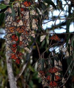 Monarch migration Mexico