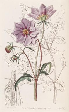 [as Dahlia glabrata Lindl.] / Edwards's Botanical Register, vol. Vintage Botanical Prints, Botanical Drawings, Nature Illustration, Floral Illustrations, Botanical Flowers, Botanical Art, Illustration Botanique, Nature Prints, Vintage Flowers
