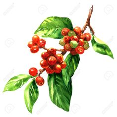 Red coffee arabica beans on branch isolated, watercolor illustration on white background Stock Illustration - 63335381 Coffee Drawing, Coffee Painting, Plant Painting, Plant Illustration, Botanical Illustration, Watercolor Illustration, Coffee Plant, Desenho Tattoo, Coffee Photography
