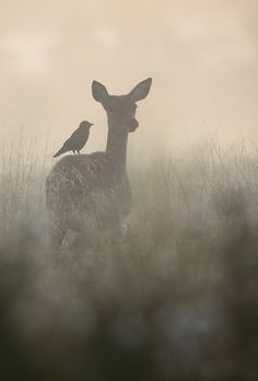 """The Doe and the Jackdaw (part by Steve Mackay. Deer with a bird on her back Beautiful Creatures, Animals Beautiful, Animals And Pets, Cute Animals, Wild Animals, Nature Animals, Baby Animals, Jackdaw, Tier Fotos"