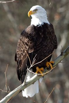 A mature Bald Eagle perches on a diagonal branch. A mature Bald Eagle perches on a diagonal branch. Eagle Pictures, Bird Pictures, Pictures Of Bald Eagles, Beautiful Birds, Animals Beautiful, Animals And Pets, Cute Animals, Eagle Painting, Eagle Art