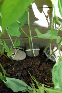 Quick green bean trellis? Tie the strings to a rock! Then tie the strings to the top of whatever you're letting your beans grow up (porch, fence, house, neighbour's car) with the rock falling at the base of each bean plant.