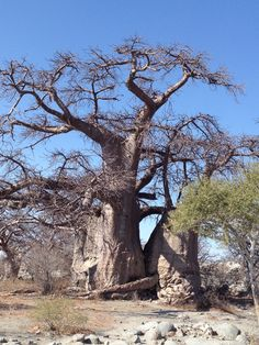 Baobab trees in the Makgadikgadi Pan in Botswana, one of the largest salt pans in the world. Baobab Tree, Field Notes, Pula, African Countries, Natural Phenomena, South Africa, Nature, Amy, National Parks