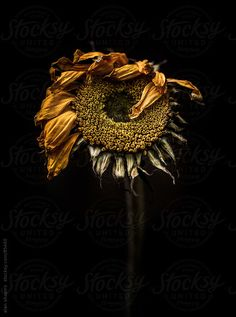 Stock photo of Tired sunflower by alanshapiro Floral Photography, Nature Photography, Amazing Photography, Dark Flowers, Decay Art, Growth And Decay, A Level Art, Botanical Flowers, Still Life