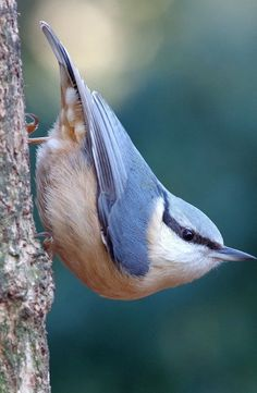 Picture of an eurasian nuthatch. Picture of an eurasian nuthatch. Wild Animals Pictures, Bird Pictures, Photos Of Birds, Amazing Animal Pictures, Cute Birds, Pretty Birds, Exotic Birds, Colorful Birds, Photo Animaliere