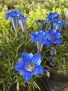 https://www.gardendesign.com/pictures/images/675x529Max/site_3/autumn-gentian-gentiana-sino-ornata-shutterstock-com_12136.jpg