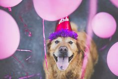 How cute is this dog? Beautiful pictures. dog-photography-chuppy-golden-retriever-jessica-trinh-4
