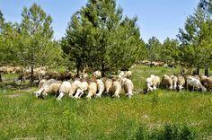 Crónicas del Palancia: La Generalitat regula la ganadería extensiva tradicional en los parques naturales de la Comunidad