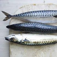 Did you know that eating oily fish, like mackerel, can contribute to a healthier brain? Also visit www.excelerol.com :)