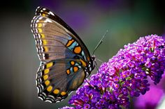 Hay muchas plantas que te ayudarán a atraer mariposas a tu jardín. Pero no es suficiente llenar tu patio con flores: hay que tomar en cuenta todo el ciclo de vida de la mariposa para crear un hábitat realmente ameno para ellas.
