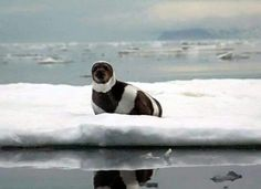 Ribbon seal.. Rare