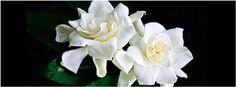 Dos Gardenias~ Facebook Cover
