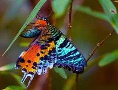 Madagascar Sunset Moth (Urania ripheus)