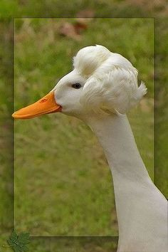 crested goose
