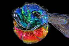Adult ruby-tailed wasp curled into a ball