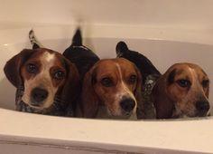 Bath time! : beagle