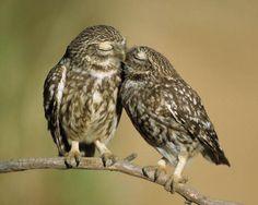 Steinkauz, Athene noctua, little owl
