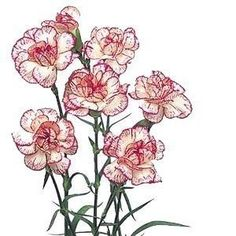 Pepermint Mini Carnation Flower in Wholesale Bulk  #wedding #bouquets #decorations #flowers #corsage #decor #centerpiece #party #romance #mothersday