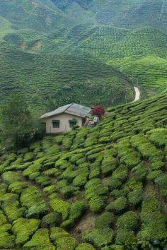 Tea gardens - Malasya