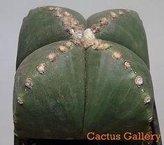 Astrophytum Cuatricostatum Cactus Gallery