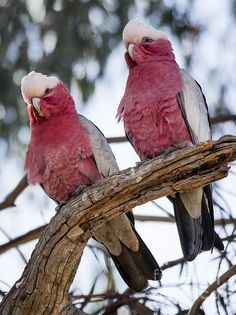 The Galah, Eolophus roseicapilla, also known as the Rose-breasted Cockatoo, Galah Cockatoo, Roseate Cockatoo or Pink and Grey by Steven Raiser