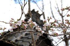 墨坂神社(芝宮)の桜 4/7(咲きはじめ)