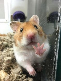 Dramatic Hamster - Imgur
