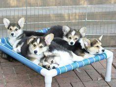 #corgi # puppies