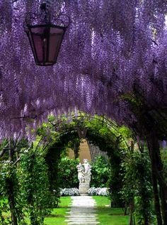 Purple rain - Wisteria