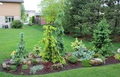 a berm filled with a variety of Spruce cultivars. #LandscapingGarden