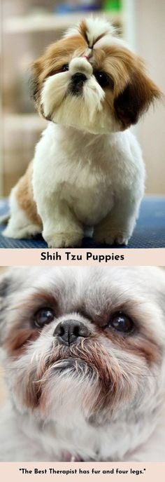 Head to the webpage to see more about Shih Tzu #ShihTzu Check the webpage to find out more...