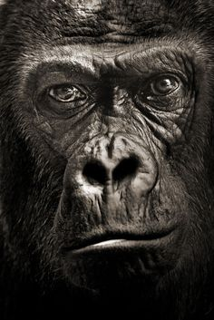 Gorilla:  Portrait of Quarta by Meys Sebastien - I believe this is the most amazing animal ever!!!!