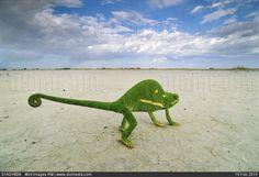 Chamaeleo dilepis dilepis, Makgadikgadi Pans, Botswana by Frans Lanting Leni Riefenstahl, Frans Lanting, Karl Blossfeldt, Stock Image, Ansel Adams, Perfect World, Travel Images, Wildlife Photography, Amazing Photography