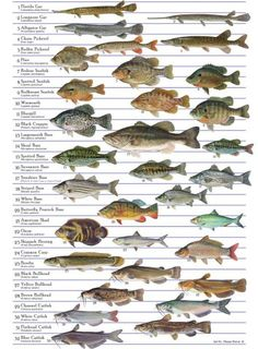 1000 images about fishing on pinterest fly fishing fly for North american freshwater fish