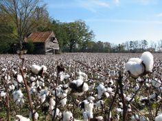 "When it gets to be this time of the year and the cotton fields here in North Alabama begin to turn white with ""southern snow"", I can't help . Picking Cotton, Cotton Fields, Southern Gothic, Back Road, Farms Living, Down On The Farm, Old Farm, Down South, Farm Life"