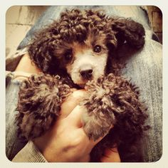 Poodle puppy...i need one!!!!!!