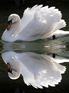 : Beautiful Swan