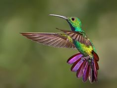Green-breasted mango hummingbird, Central America