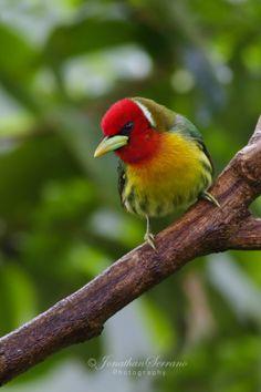 Red-headed Barbet by Jonathan Serrano